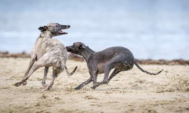 Windhunde am Strand