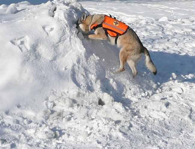 Wolfshund als Rettungshund