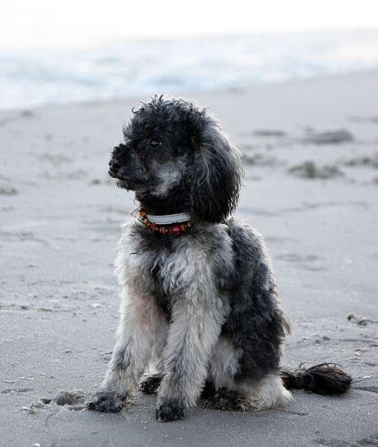 Zwergpudel im Urlaub am Strand