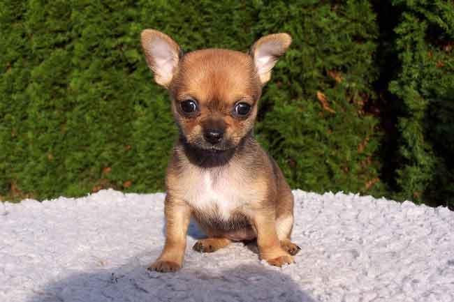 Chihuahua Welpe Kurzhaar