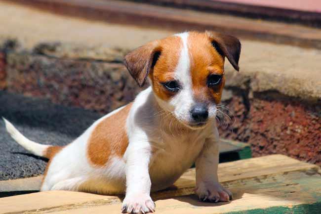 Jack-Russell-Terrier Welpe