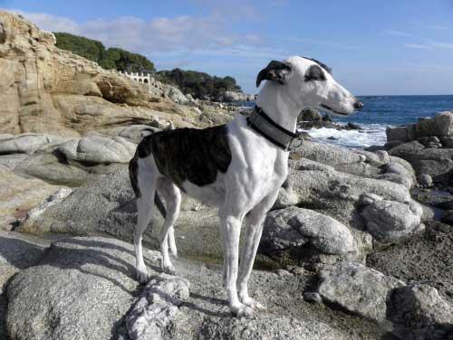 Spanischer Greyhound/Galgo im Costa Brava Urlaub