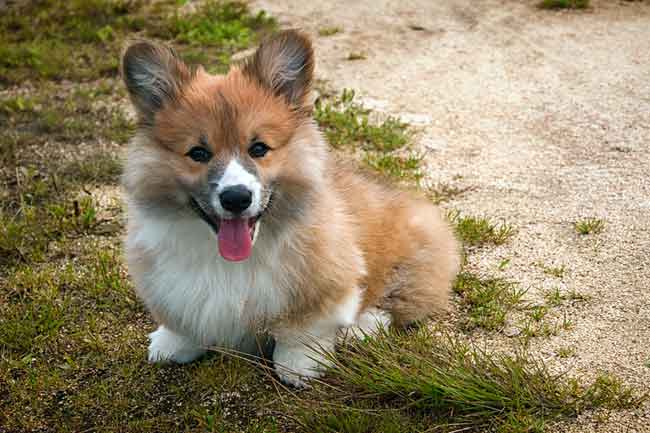 Welsh Corgi Welpe